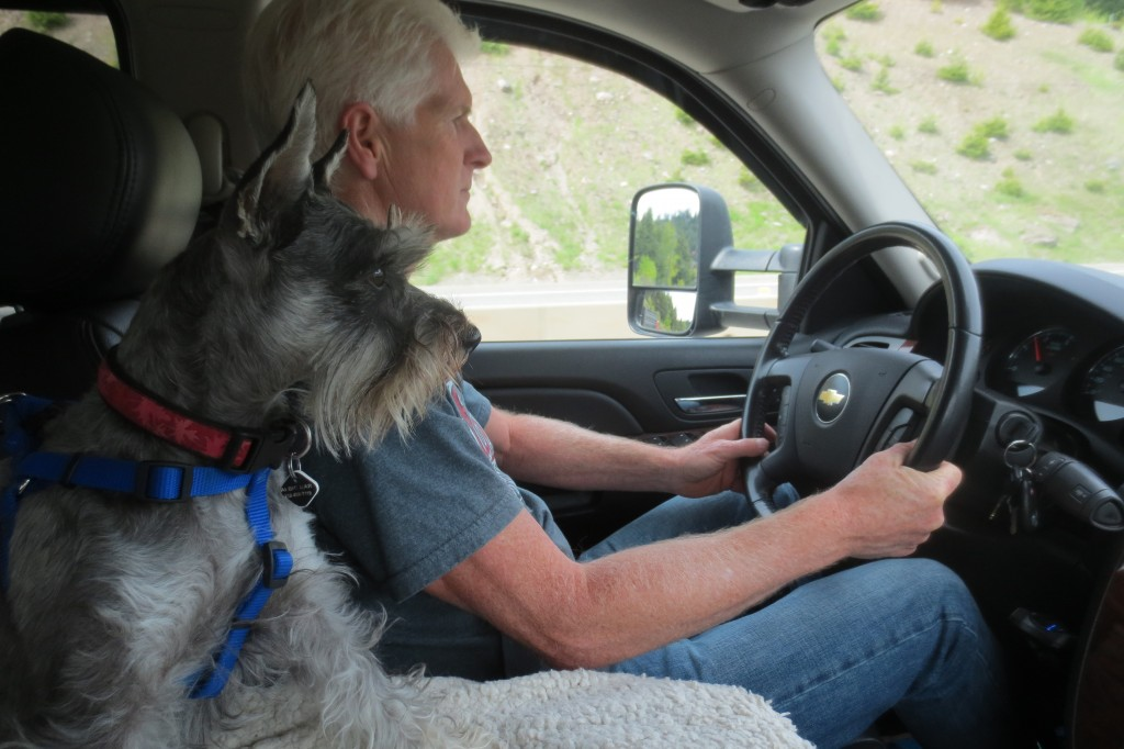 Schnauzer dog in RV with owner while driving