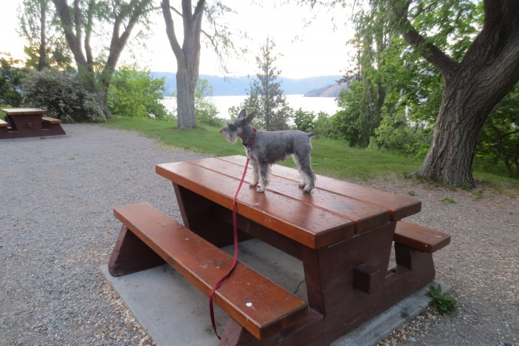 Dog is perched on a picnic table in a lakeside campsite