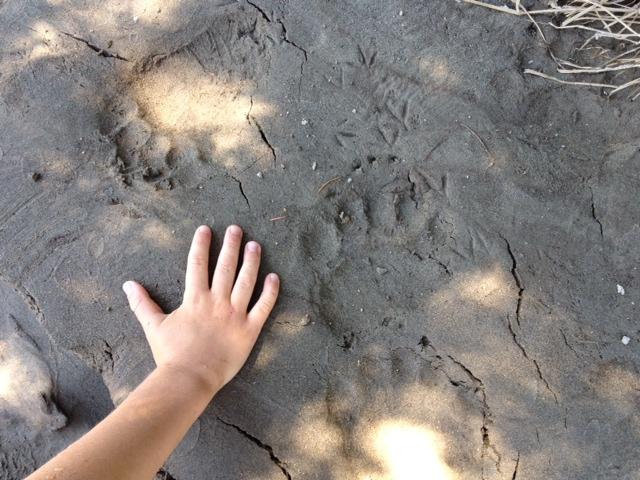 Bear print in sand at beach