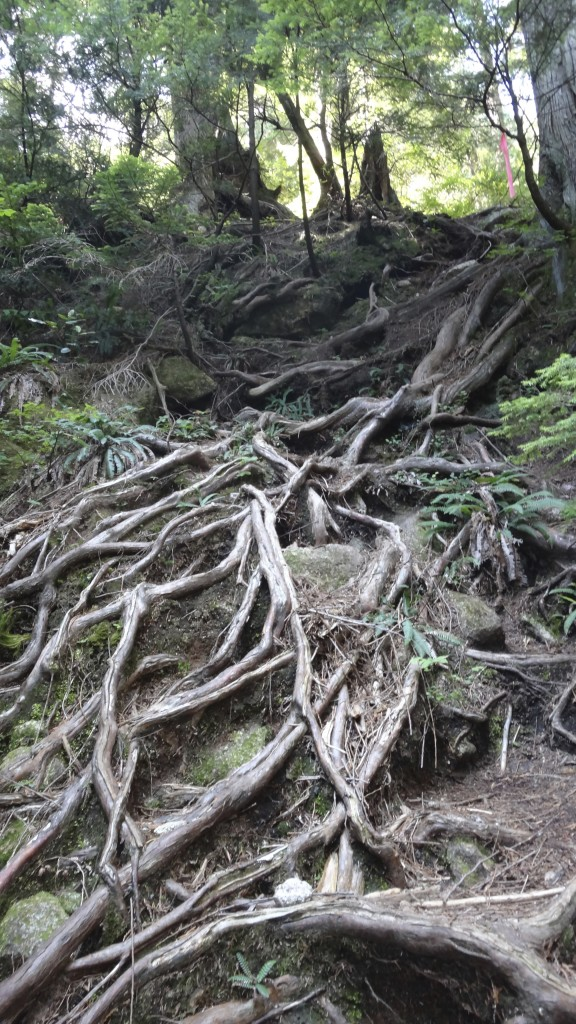 Gnarly roots on hike