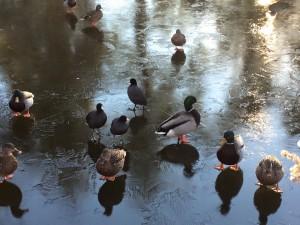 Ducks can ice skate!