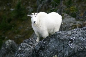 Mountain Goat Photo: Province of BC