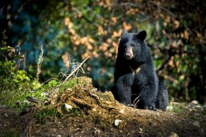 Black Bear along the Stewart-Cassiar