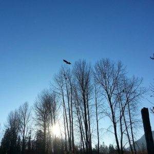 Eagles at Kilby Provincial Park