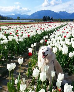 Tulips of the Valley, Chilliwack BC