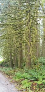 Moss Covered Trees Golden Ears Park | Joss Penny