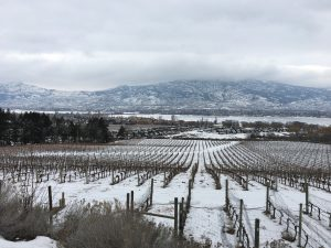 Nk'Mip Cellars Vines in Winter