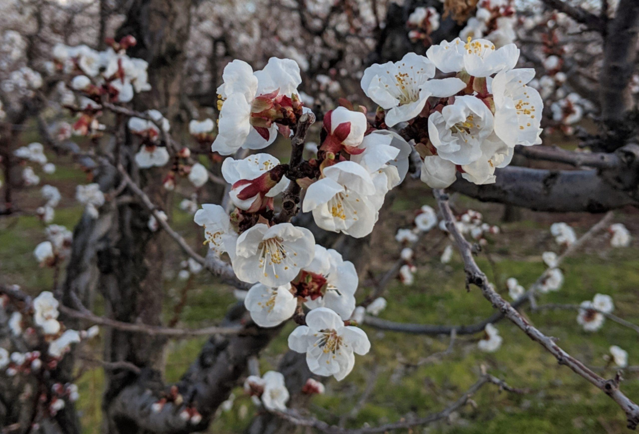 Okanagan Blossoms